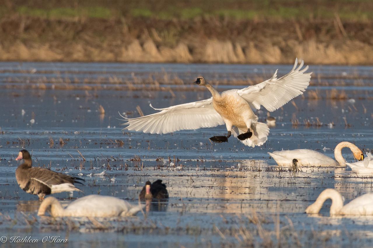 Tundra Swan Landing