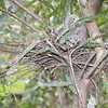 Baby Heron in nest