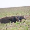 Giant Anteater  Chapada do Ceu