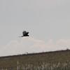 long winged harrier