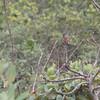 rufous -winged antshrike