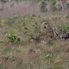 ema  Rhea at Emas national park
