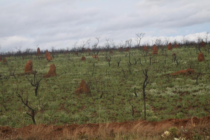 Pampas deer and termite mounds at Emas NP