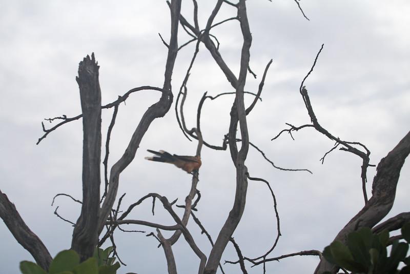 greater thornbird?