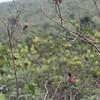 rufous wingedc antshrike