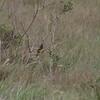 yellow-rumped marshbird