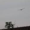 roadside or savannah hawk?