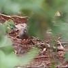 small billed tinamou