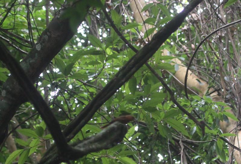 planalto foliage gleaner