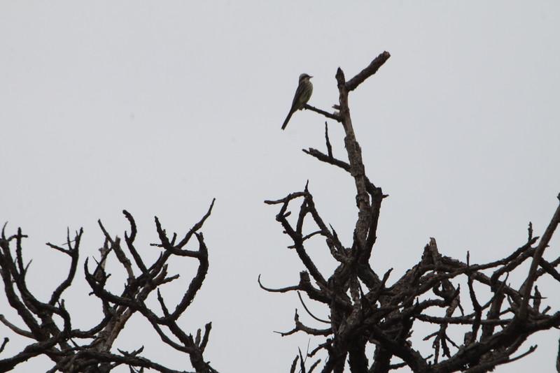 varigated flycatcher