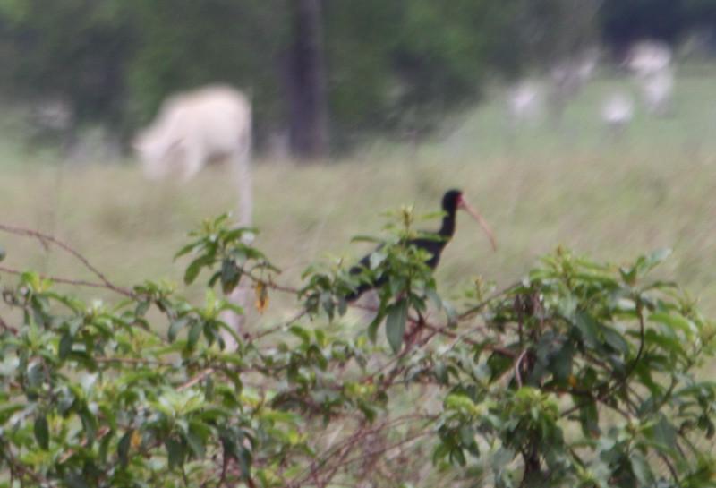 bare faced ibis