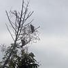 rufous winged antshrike?