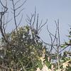 short -crested flycatcher