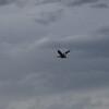 Buff necked ibis