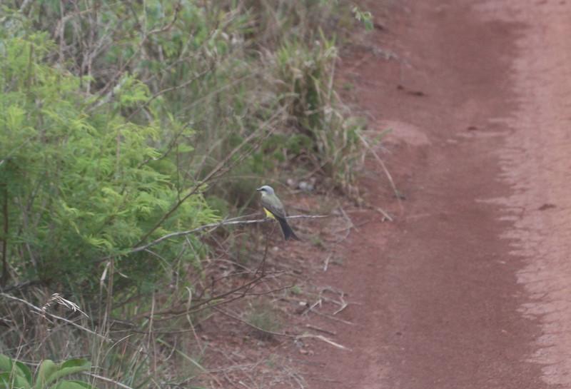 White throated kingbird