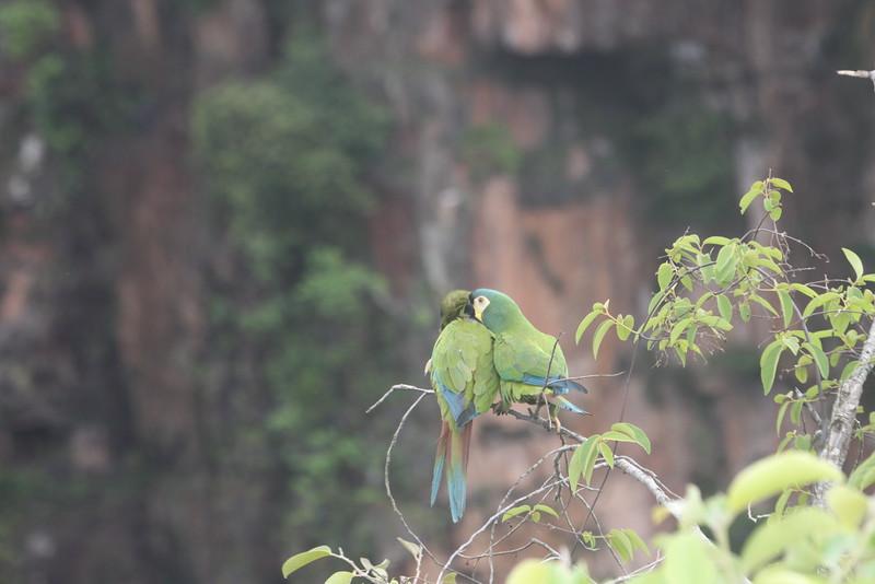 blue wuinged macaw