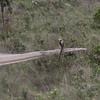 streamer tailed tyrant
