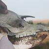 tapir skull