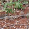 small-billed tinamou