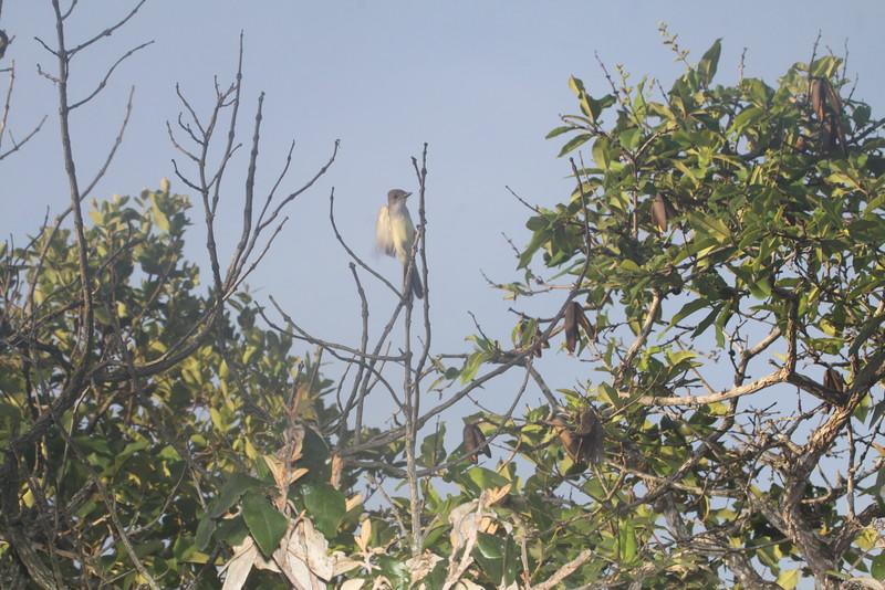 Short-crested flycatcher?