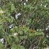Caryocar brasiliense,  pequi tree