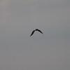 roadside or savannah hawk
