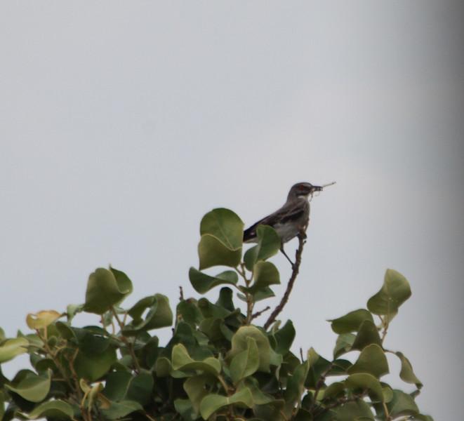 grey monjita