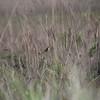 grassland sparrow?