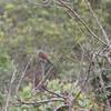 Rufous winged antshrike