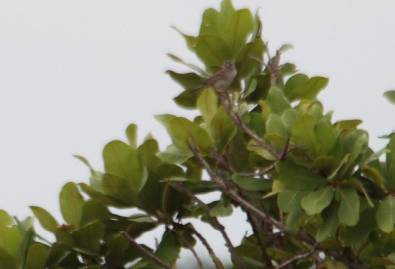 grassland sparrow