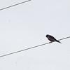 aplomado falcon?  or american kestral