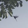 swallow tailed hummingbird