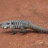 tegu collared lizard