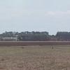 rheas