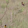 yellow-rumped marshbirds