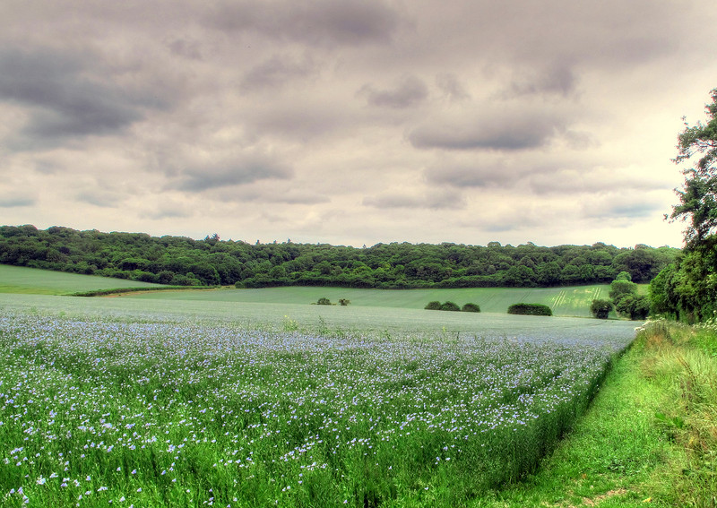 Linseed growing near Breamore.