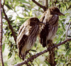 immature black crown night heron