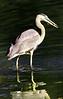 gblue heron