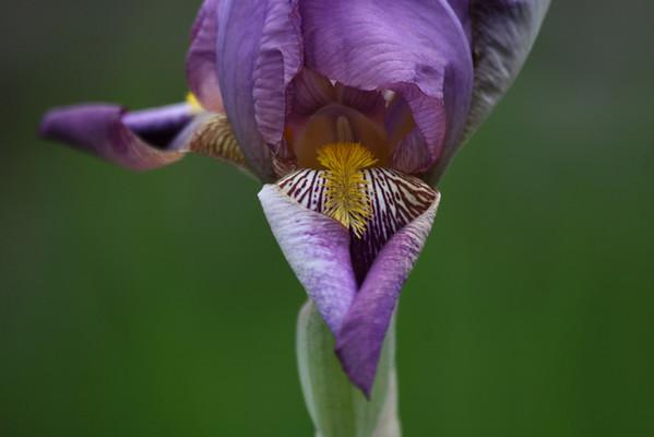 Iris Erotica