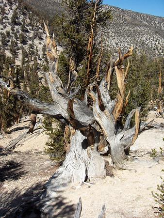 Bristlecone Pine Trees, White Mtns. 09/16/2007