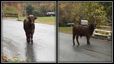 thomaston-cow-is-on-the-loose-last-seen-at-terryville-fairgrounds