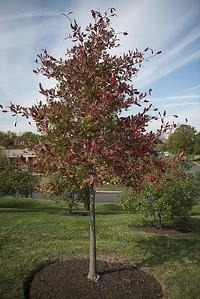 Blackgum trees, also known as nyssa sylvatica, grow in Arlington National Cemetery, Oct. 20, 2015, in Arlington, Va.