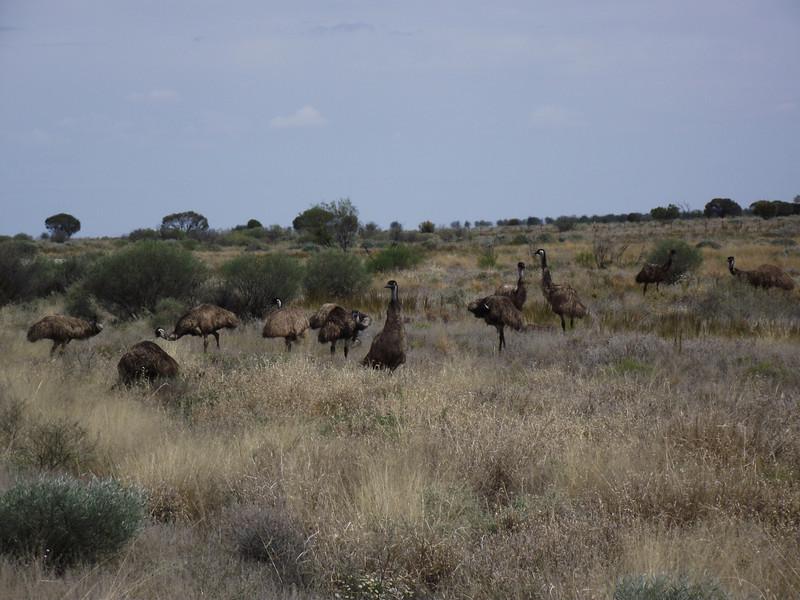 Emus, east of Broken Hill NSW