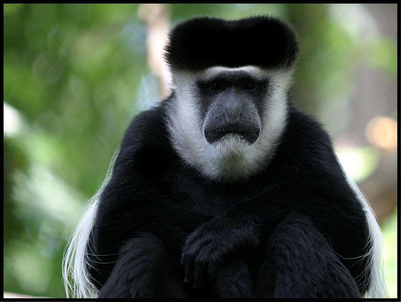 Colobus Monkey - Bronx Zoo