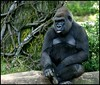 Gorilla - Bronx Zoo
