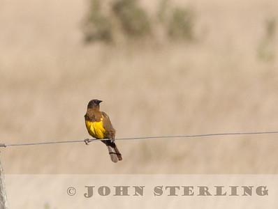 Brown-and-yellow Marshbird