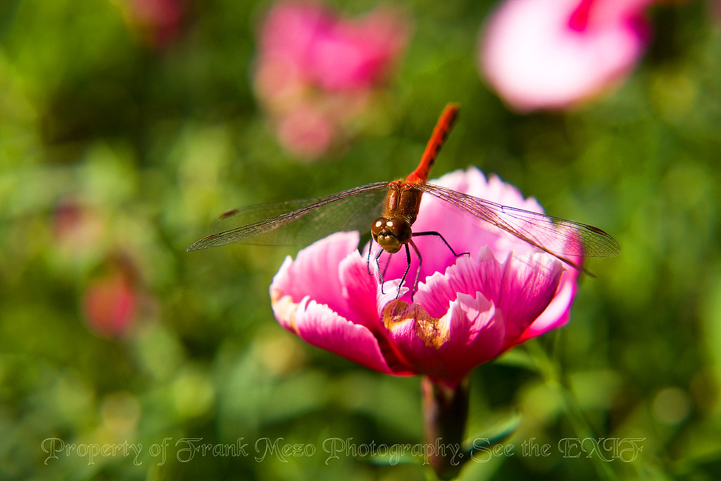 Red Dragonfly4170 copy