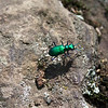 Six-spotted tiger beetles, Cicindela sexguttata