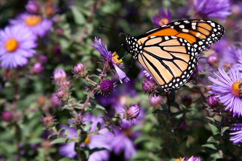 U of M Monarch