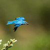 Mountain Bluebirds with Food for Chicks